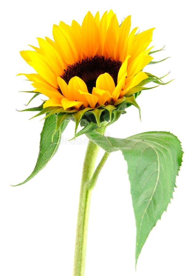 ήλιος λουλουδιών συλ&l στοκ φωτογραφία με δικαίωμα ελεύθερης χρήσης