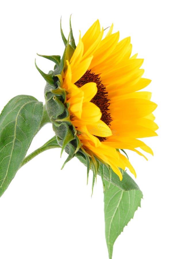 ήλιος λουλουδιών συλ&l στοκ εικόνες