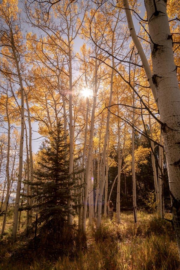 Ήλιος που λάμπει μέσω των δέντρων της Aspen στοκ φωτογραφία με δικαίωμα ελεύθερης χρήσης