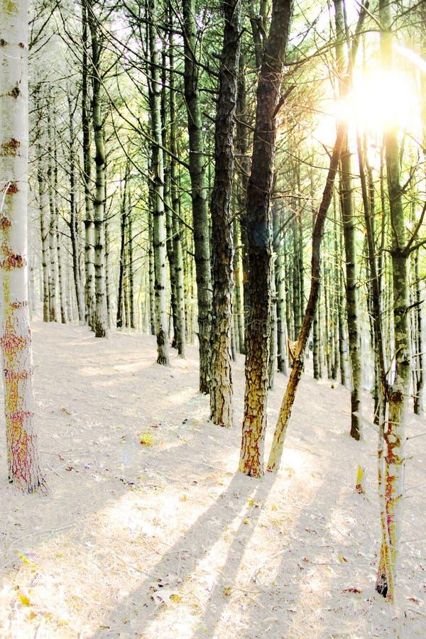 Ήλιος που λάμπει μέσω των δέντρων του δάσους στοκ εικόνες με δικαίωμα ελεύθερης χρήσης