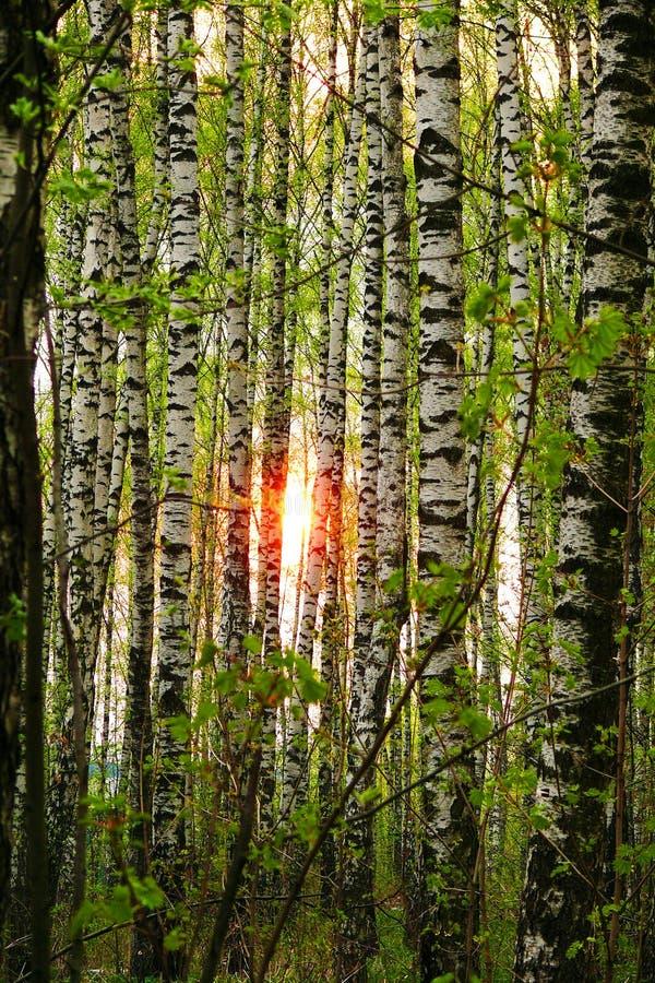 ήλιος σημύδων στοκ φωτογραφίες