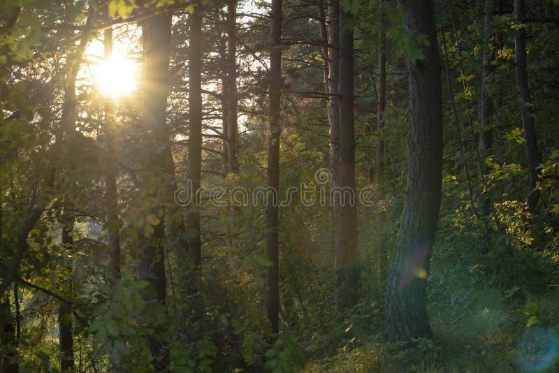 Ήλιος στα ξύλα το καλοκαίρι στοκ φωτογραφίες με δικαίωμα ελεύθερης χρήσης