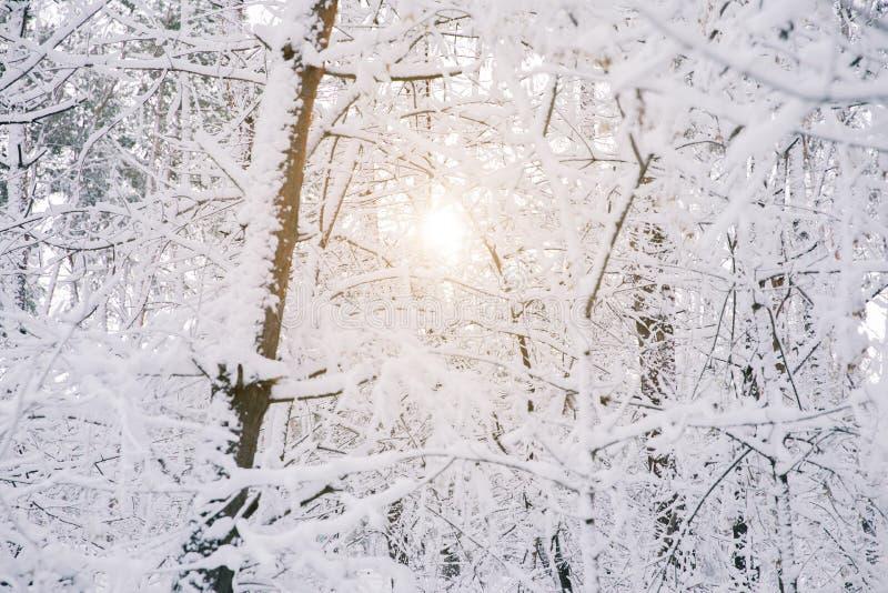 Ήλιος των δέντρων που καλύπτονται μεταξύ με το χιόνι στοκ φωτογραφία με δικαίωμα ελεύθερης χρήσης