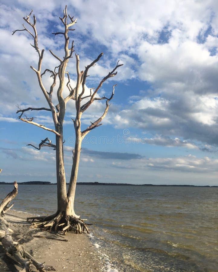 Ήλιος-Sun-Bleached δέντρο στην εθνική ακτή ` s Bayside νησιών Assateague στοκ εικόνες