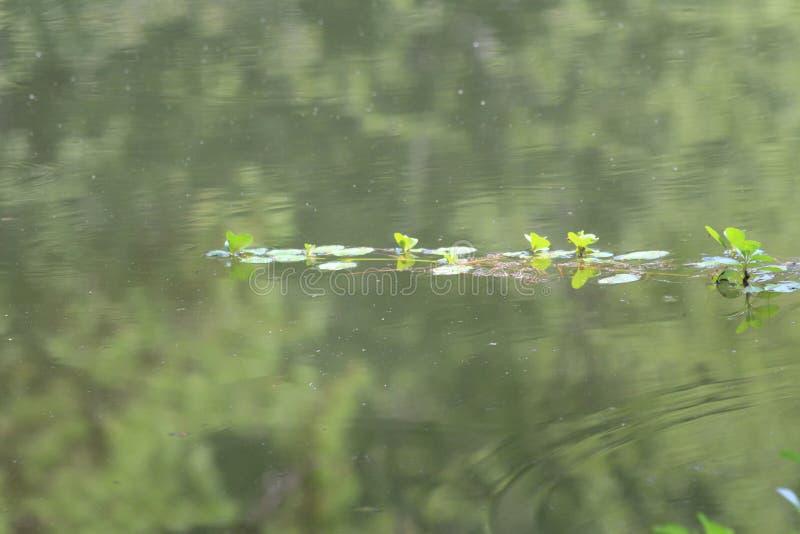 Ήπια κυματίζοντας λίμνη που απεικονίζει τα πράσινα δέντρα, που διχοτομούνται από ένα μικρό ίχνος των εργοστασίων νερού στοκ φωτογραφία με δικαίωμα ελεύθερης χρήσης