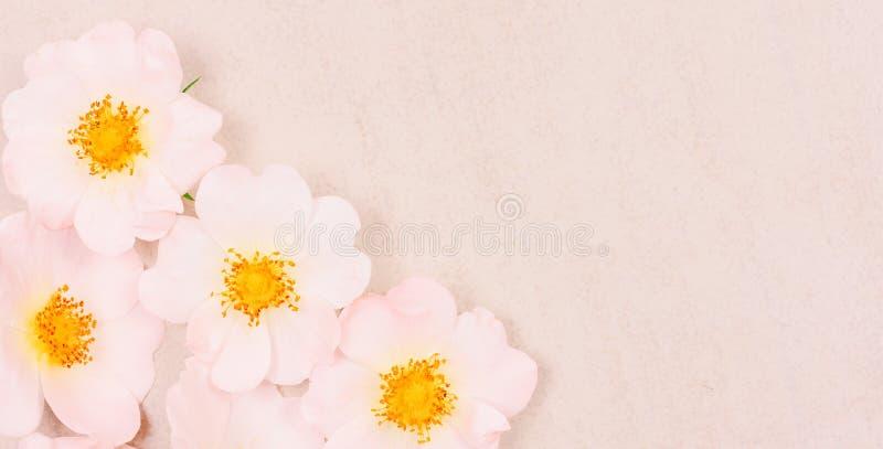 Ήπια ρόδινος άγριος αυξήθηκε λουλούδια στο ελαφρύ υπόβαθρο στοκ εικόνες