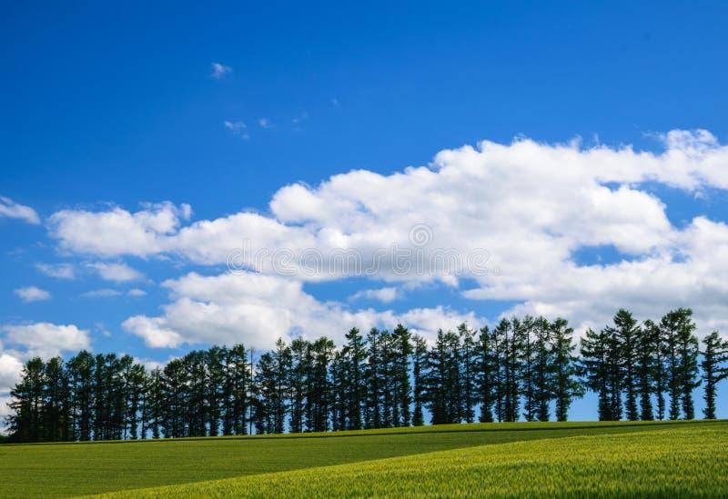Ήπιος επτά λόφος, σειρά των διάσημων δέντρων μεταξύ του τομέα κριθαριού, pacthwo στοκ εικόνες