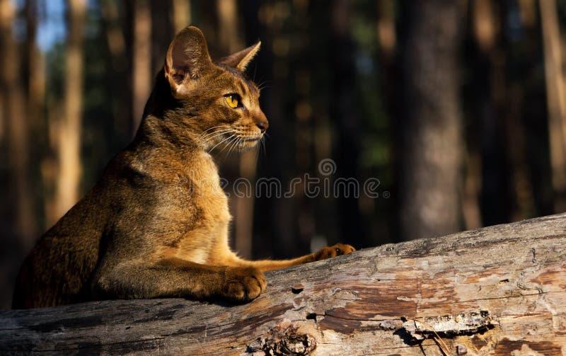 Ήρεμη γάτα Abyssinian που βρίσκεται υπαίθρια στον κορμό δέντρων στοκ εικόνες