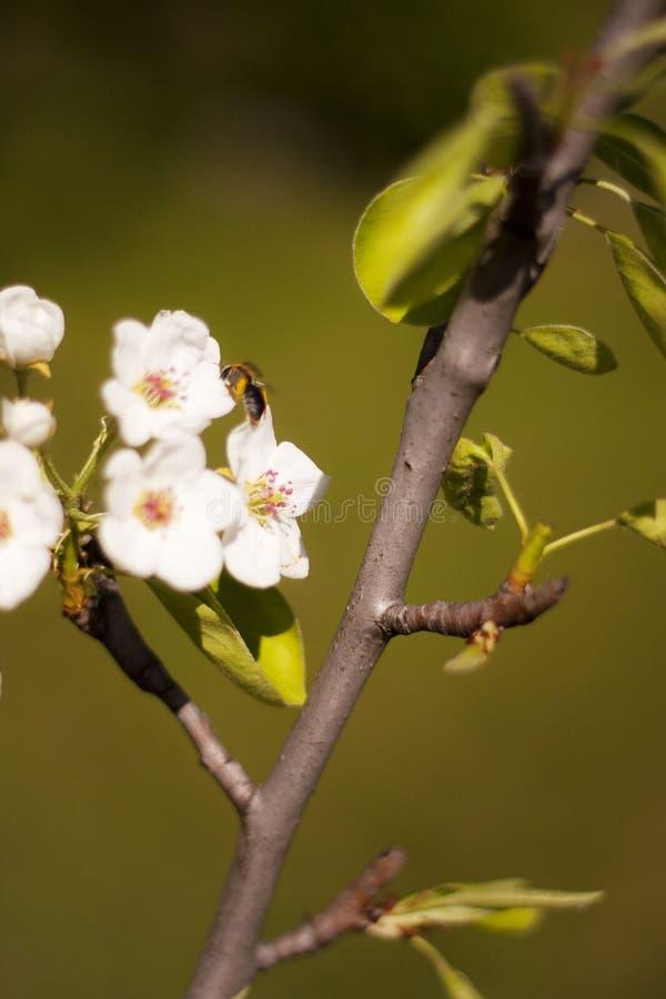 ήρθε άνοιξη ζωή νέα Βουίζοντας μέλισσες στοκ εικόνες