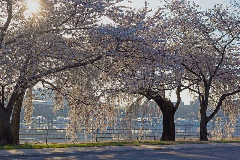 Ήλιος και ανθίζοντας δέντρα κερασιών στοκ φωτογραφία