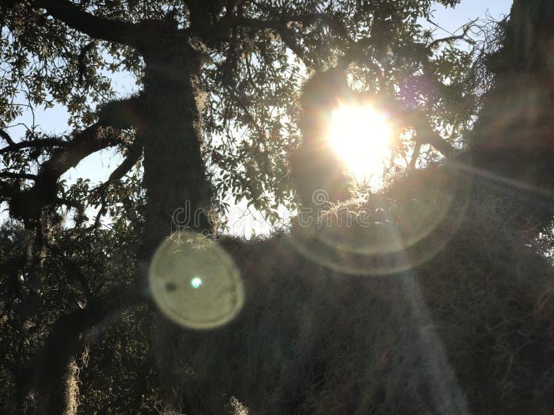 Ήλιος μέσω των δρύινων δέντρων στοκ εικόνα