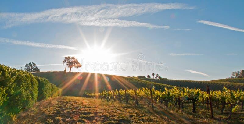 Ήλιος ξημερωμάτων που λάμπει δίπλα στο δρύινο δέντρο κοιλάδων στο λόφο στη χώρα κρασιού Paso Robles στην κεντρική κοιλάδα Καλιφόρ στοκ εικόνα