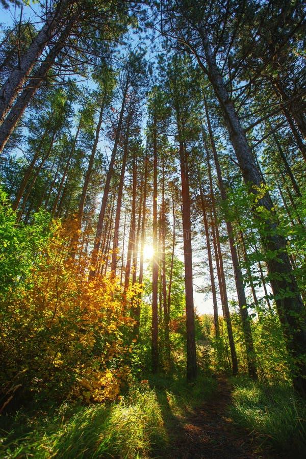 Ήλιος που λάμπει μέσω των δασικών δέντρων στοκ εικόνες με δικαίωμα ελεύθερης χρήσης