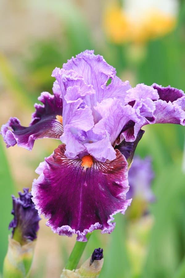 ίριδα λουλουδιών στοκ φωτογραφίες με δικαίωμα ελεύθερης χρήσης