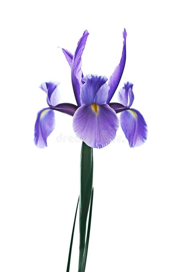 ίριδα λουλουδιών στοκ φωτογραφία με δικαίωμα ελεύθερης χρήσης