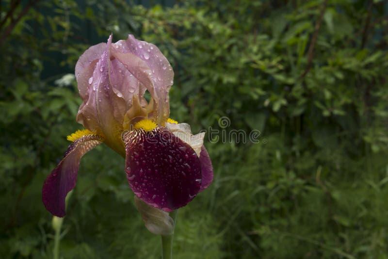 Ίριδα Σιβηρίας όμορφο λουλούδι σε πράσινο φόντο για ευχετήριες κάρτες, αφίσες στοκ εικόνες με δικαίωμα ελεύθερης χρήσης