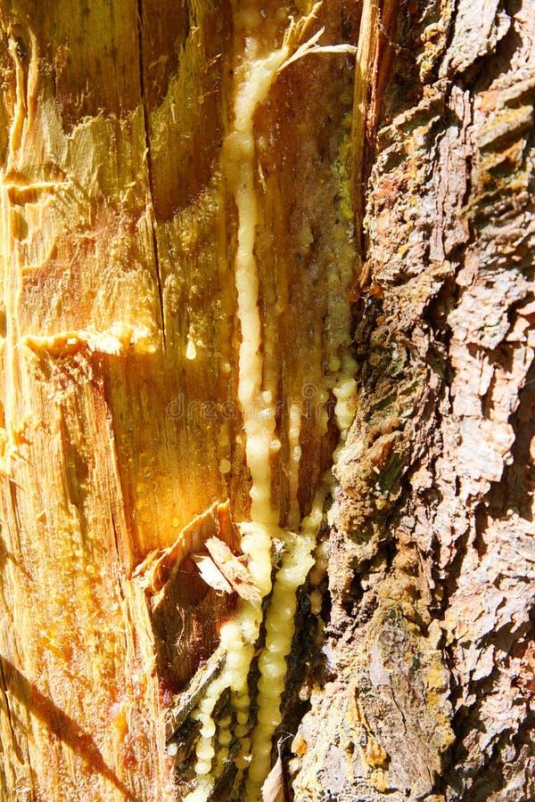 Ίχνη και εγκοπές στον κορμό του δέντρου μετά από τη συλλογή της ρητίνης πεύκων στοκ φωτογραφία
