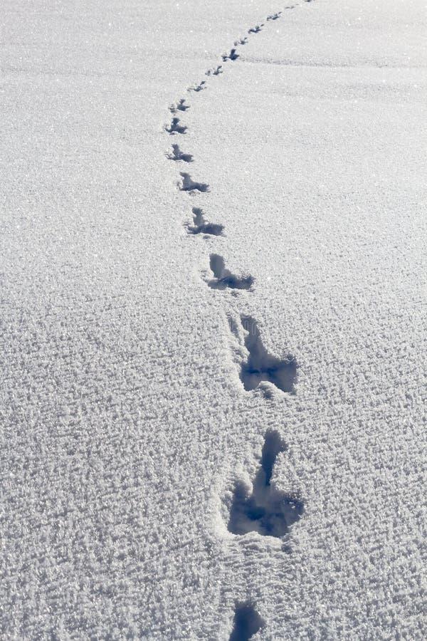 Ίχνη κουνελιών στο βαθύ φρέσκο χιόνι στοκ φωτογραφίες