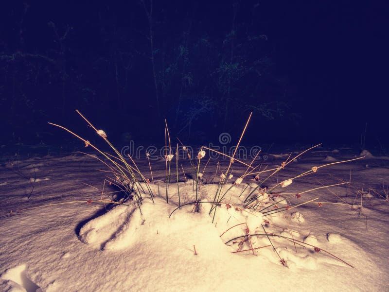 Ίχνη ποδιών στο χιόνι σκονών Παγωμένο άχυρο της χλόης που καλύπτεται με τη σκοτεινή ψυχρή νύχτα παγετού στοκ εικόνα με δικαίωμα ελεύθερης χρήσης