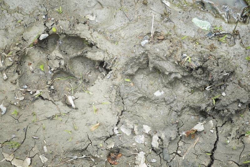 Ίχνη σκυλιών στον άργιλο στοκ φωτογραφίες με δικαίωμα ελεύθερης χρήσης