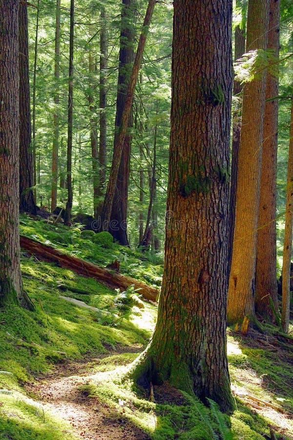 Ίχνος μέσω του δάσους παλαιός-αύξησης στις κλίσεις της κοιλάδας Elwha, ολυμπιακό εθνικό πάρκο, Ουάσιγκτον στοκ εικόνες