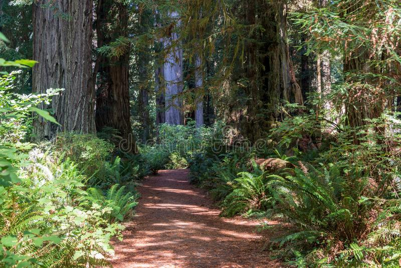 Ίχνος πεζοπορίας στο εθνικό πάρκο Redwood στοκ εικόνες