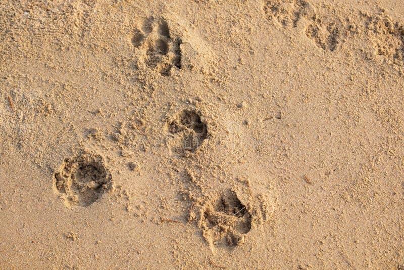 Ίχνος σκυλιών στην άμμο παραλιών Σημάδι σκυλιών μετά από τον περίπατο κατά μήκος της παραλίας στοκ φωτογραφίες με δικαίωμα ελεύθερης χρήσης