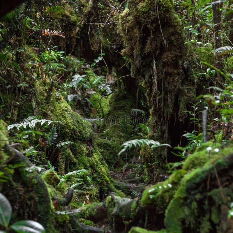 Ίχνος στη mossy ζούγκλα του βουνού Trus Madi μέσα στοκ φωτογραφία με δικαίωμα ελεύθερης χρήσης