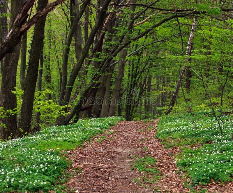 Ίχνος στο πράσινο ανθίζοντας δάσος στα δέντρα, φύση υποβάθρου στοκ φωτογραφία με δικαίωμα ελεύθερης χρήσης