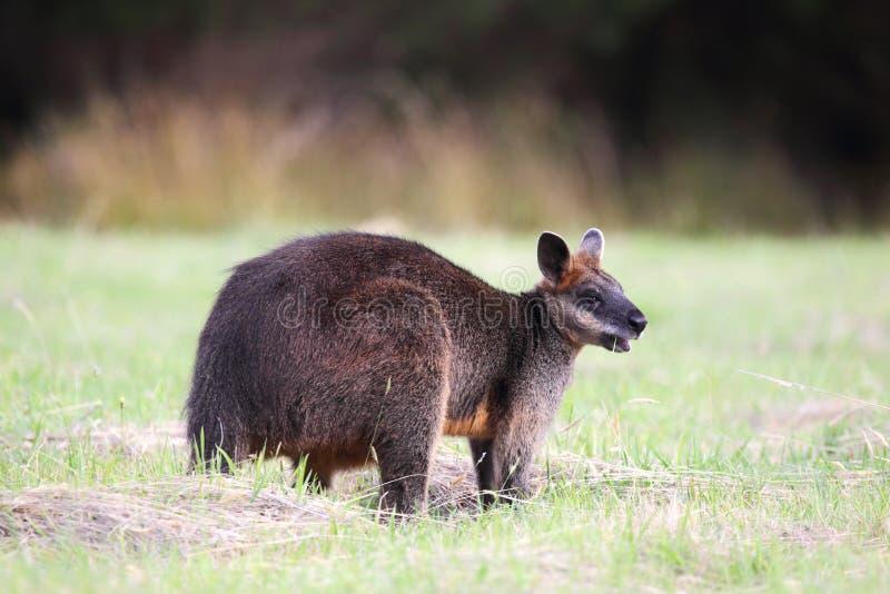 δίχρωμο wallabia ελών wallaby στοκ φωτογραφία
