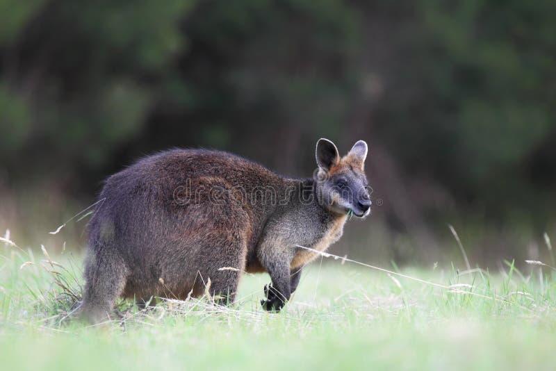 δίχρωμο wallabia ελών wallaby στοκ εικόνα με δικαίωμα ελεύθερης χρήσης