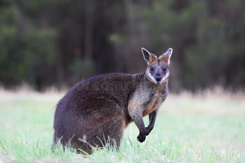 δίχρωμο wallabia ελών wallaby στοκ φωτογραφία με δικαίωμα ελεύθερης χρήσης