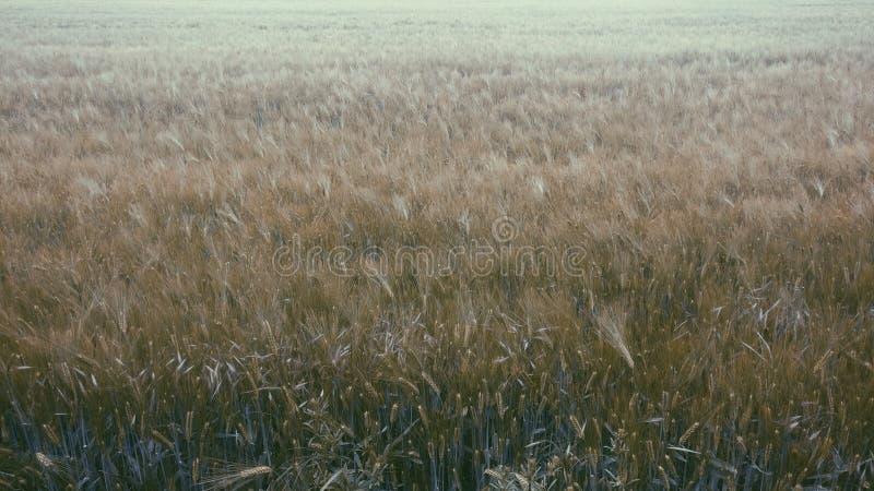 Αέρας μέσω του τομέα σιταριού στοκ εικόνες