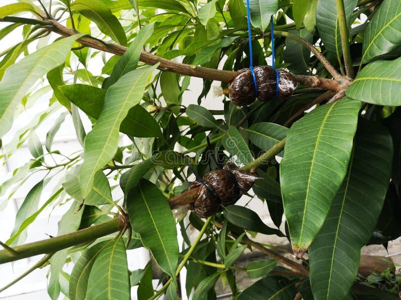Αέρας που βάζει τα οπωρωφόρα δέντρα στο δέντρο μάγκο σε στρώσεις στοκ εικόνα