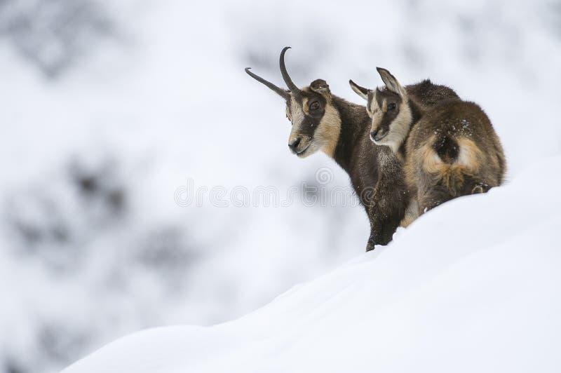 Αίγαγροι στο χιόνι των ορών στοκ φωτογραφία με δικαίωμα ελεύθερης χρήσης