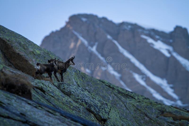 Αίγαγροι, rupicapra Rupicapra, στο δύσκολο λόφο με το montain που καλύπτεται από το χιόνι, βουνό σε Gran Paradiso, φθινόπωρο στα  στοκ φωτογραφίες με δικαίωμα ελεύθερης χρήσης