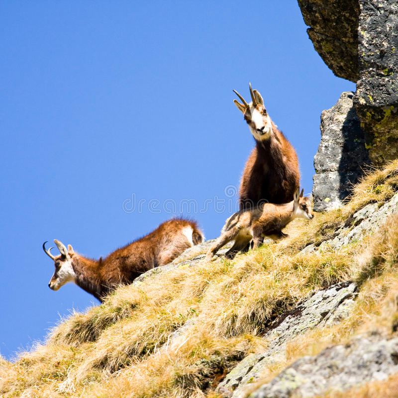 Αίγαγροι (Rupicapra Carpatica) στο βουνό υψηλό Tatras, Πολωνία στοκ εικόνες