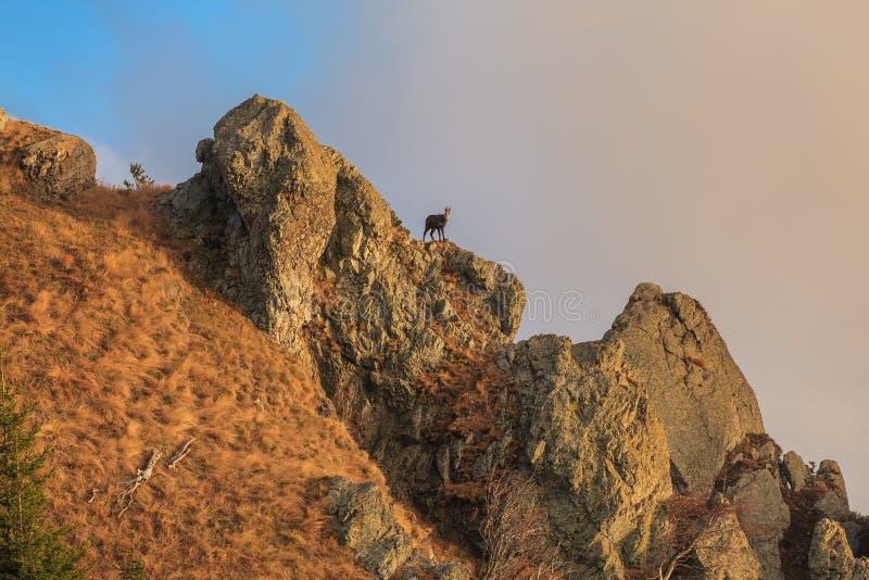 Αίγαγροι Rupicapra Carpatica στο βουνό στοκ εικόνα με δικαίωμα ελεύθερης χρήσης