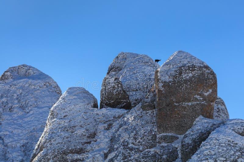Αίγαγροι Rupicapra Carpatica στο βουνό στοκ φωτογραφία με δικαίωμα ελεύθερης χρήσης