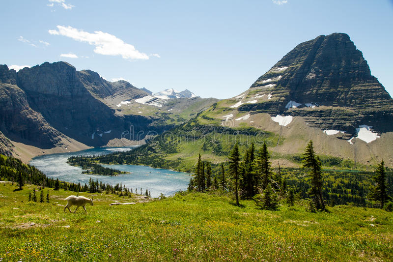 Αίγα βουνών στα λιβάδια του εθνικού πάρκου παγετώνων στοκ φωτογραφίες
