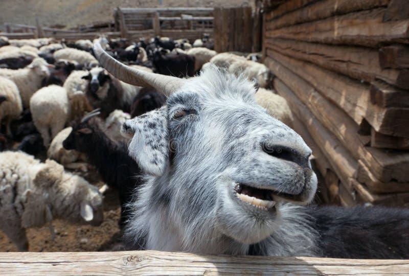 Αίγα και πρόβατα στοκ εικόνα με δικαίωμα ελεύθερης χρήσης