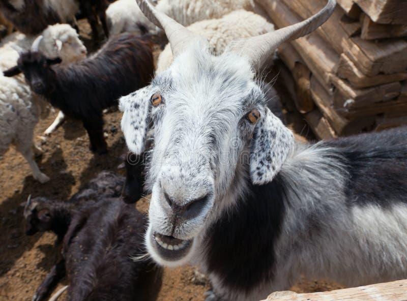 Αίγα και πρόβατα στοκ φωτογραφίες με δικαίωμα ελεύθερης χρήσης
