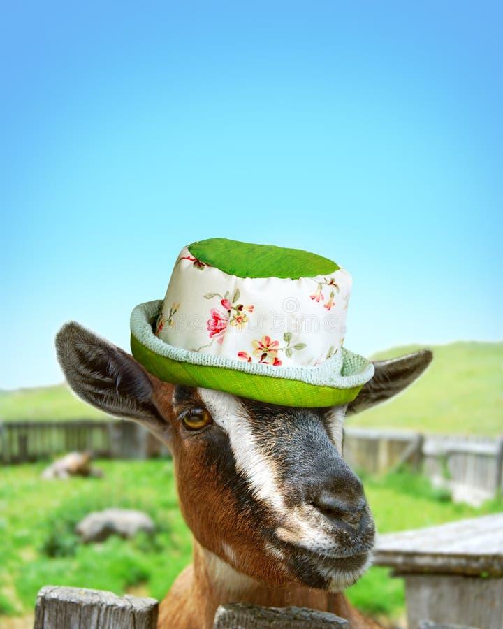 Αίγα με girly το καπέλο στοκ φωτογραφία