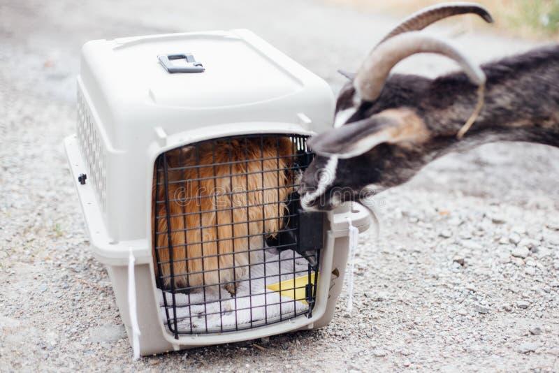 Αίγα που κάνει τους φίλους με την παλαιά pekingese συνεδρίαση σκυλιών στη μεταφορά του κλουβιού στο καταφύγιο Λατρευτό παλαιό και στοκ εικόνα