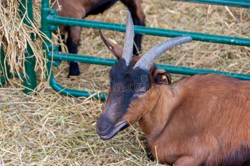 Αίγα στη μάνδρα βοοειδών στοκ φωτογραφίες με δικαίωμα ελεύθερης χρήσης