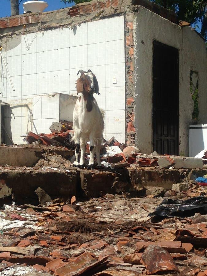 Αίγα στις καταστροφές στοκ φωτογραφίες με δικαίωμα ελεύθερης χρήσης
