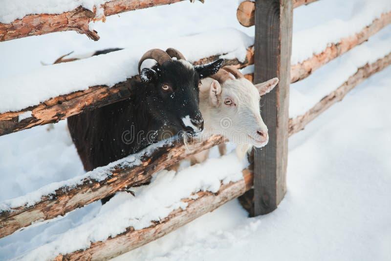 Αίγα στο χιόνι στοκ εικόνα με δικαίωμα ελεύθερης χρήσης