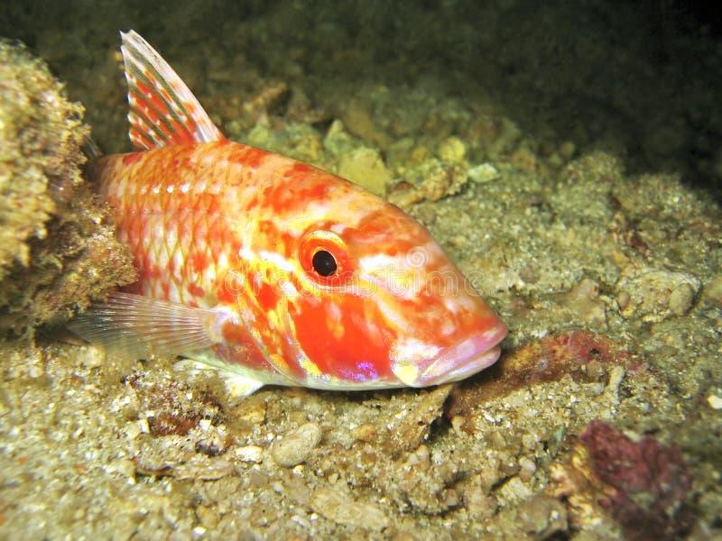 αίγα ψαριών Στοκ Εικόνες