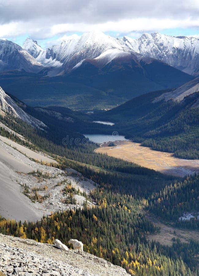 Αίγες βουνών σε Kananaskis, τα καναδικά δύσκολα βουνά στοκ εικόνα