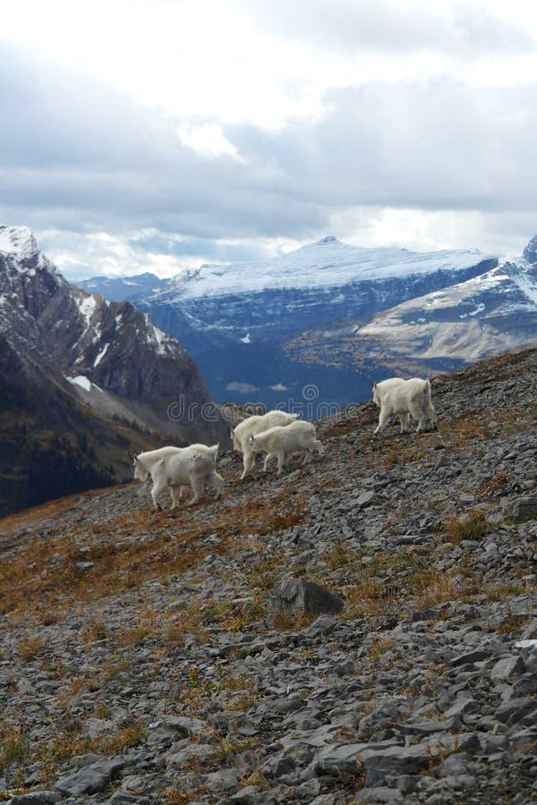 Αίγες βουνών σε Kananaskis, τα καναδικά δύσκολα βουνά στοκ φωτογραφία